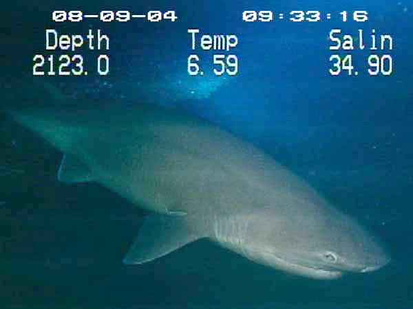 Six-gill_shark.jpg